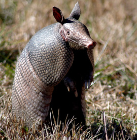 Armadillo Removal Services Houston TX | Animal-Safe Wildlife Control - armadillo-removal-and-control