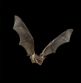 Bats Removal Services Houston TX | Animal-Safe Wildlife Control - bat-removal-and-control-services