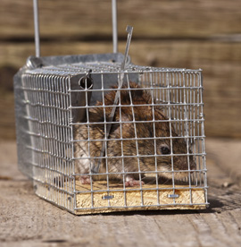 Animal Removal: Raccoons & Squirrels Houston | Animal-Safe Wildlife Control - humane-animal-control-and-removal-services