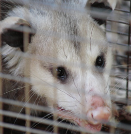 Opossum Removal Services Houston, TX | Animal-Safe Wildlife Control - opossum-removal-and-control-services