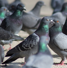Pigeon Removal Services Houston TX | Animal-Safe Wildlife Control - pigeon-removal-control-and-deterance