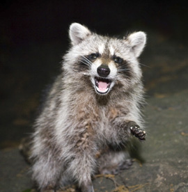 Raccoon Removal Services Houston TX | Animal-Safe Wildlife Control - raccoon-control-and-removal-services