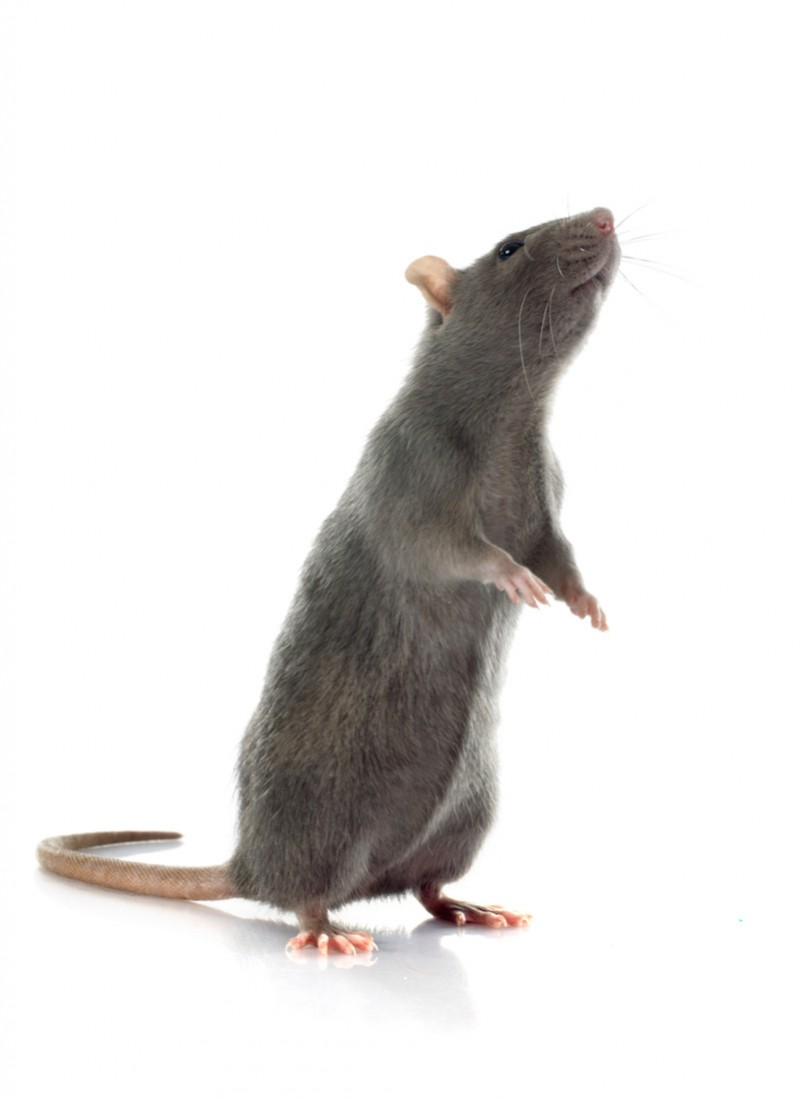 Rat Removal Services Houston TX | Animal-Safe Wildlife Control - rat_control