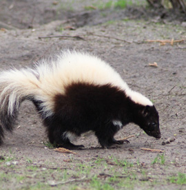 Skunks Removal Services Houston TX | Animal-Safe Wildlife Control - skunk-removal-and-control-services